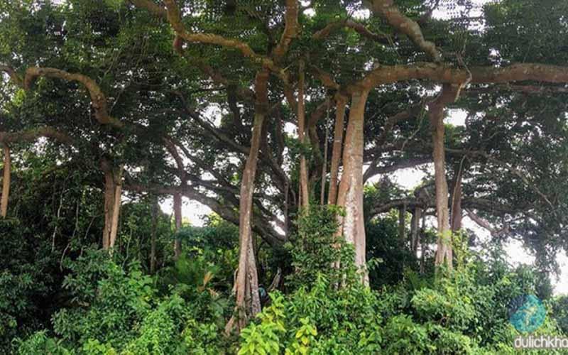 Cây đa ngàn năm Bán Đảo Sơn Trà